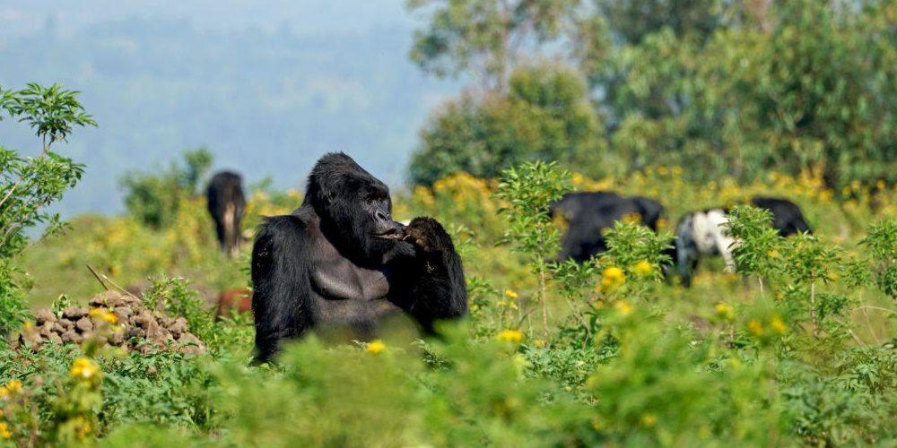 Leonardo DiCaprio új filmjében a veszélyeztetett gorillákért áll ki